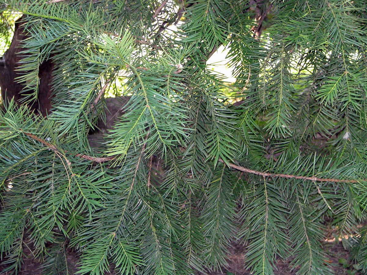 Torreya nucifera - Wikipedia