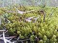 Tortella squarrosa 2548225.jpg