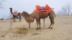 Kamele sind bis heute als Last- und Reittiere bedeutend