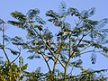 Toucans in the tree - panoramio (3610).jpg