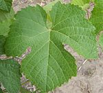 Touriga leaf.JPG