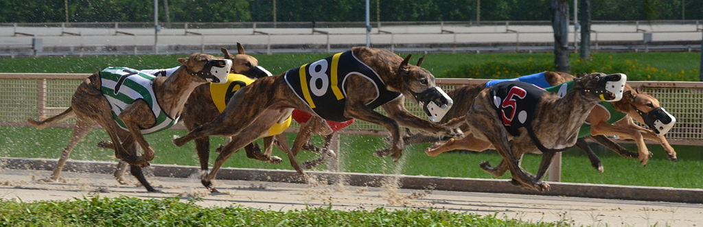 Image result for greyhounds racing