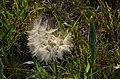 Tragopogon dubius (7416551144).jpg