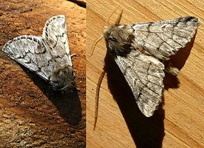 Pinien-Prozessionsspinner (Thaumetopoea pityocampa)