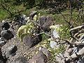 Trauttmansdorff gardens - Wisteria floribunda Longissima alba 03.JPG