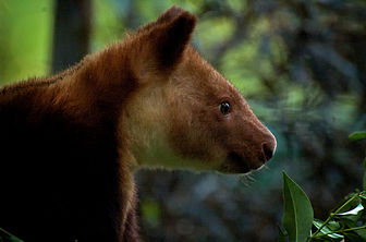 Tree Kangaroo Face.jpg