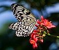 Tree Nymph Butterfly (7974489298).jpg