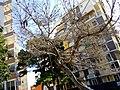Tree in Durrës.jpg