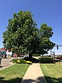 Tree of Knowledge in Junee.jpg