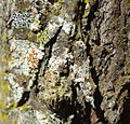 TreebasedlichenBewmalling011.JPG