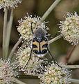 Trichius fasciatus (23163812902).jpg