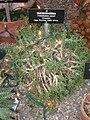 Trichodiadema peersii - Gaiser Conservatory (Manito Park) - IMG 7012.JPG