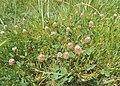 Trifolium fragiferum kz05.jpg