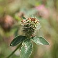 Trifolium medium-Trèfle intermédiaire-Calice-20180529.jpg