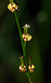 Triglochin palustris 02.jpg