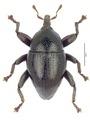 Trigonopterus puncticollis.tif