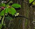 Trimeresurus gramineus1.jpg