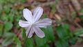 Tripladenia cunninghamii flower underside (15932356567).jpg