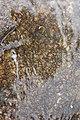 Tristicha trifaria MS 1154.jpg