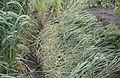 Triticum dicoccum flattend, bruinkafemmertarwe gelegerd(2).jpg