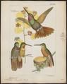 Trochilus rubineus - 1820-1860 - Print - Iconographia Zoologica - Special Collections University of Amsterdam - UBA01 IZ19100331.tif