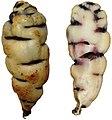 Tropaeolum tuberosum4.jpg