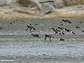 Tufted Duck (Aythya fuligula) (46249894021).jpg