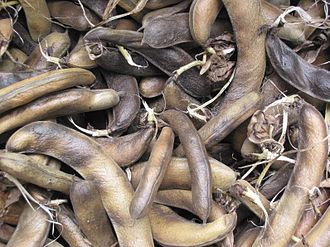 Vicia faba - Mature field bean pods