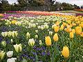 Tulip (128).JPG