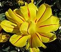 Tulipan ck 0308 1.jpg