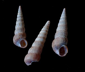 Body whorl - Three shells of the sea snail species Turritella communis. The body whorl shows in this side view  as the last complete turn of the shell spiral, the part of the shell that leads up to the aperture