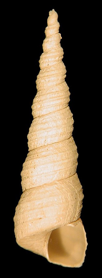 Whorl (mollusc) - A fossil shell of the marine gastropod Turritella communis. This shell has nine whorls