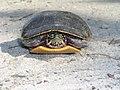 Turtle turtle turtle.jpg
