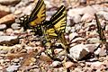 Two-tailed Swallowtail Butterfly - South Fork - Cave Creek - AZ - 2015-07-24at11-57-132 (20753518201).jpg