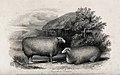Two Leicester rams. Etching by H. Beckwith, ca 1849, after H Wellcome V0021689.jpg