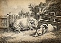 Two pigs lying in straw in an outdoor pen. Etching with aqua Wellcome V0021681.jpg