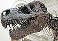 Tyrannosaurus rex (theropod dinosaur) (Hell Creek Formation, Upper Cretaceous; near Faith, South Dakota, USA) 24.jpg