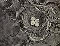 Tyrannus Nest 1904A.jpg