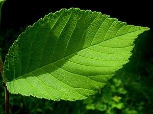 Ulmus gaussenii - Image: U. gaussenii leaf