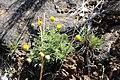 USFWS Basin rayless daisy (18528506914).jpg