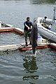 US Navy 070613-N-7676W-177 Aviation Structural Mechanic 2nd Class Shaun McDonald, assigned to Naval Special Clearance Team One (NSCT-1), works with Ten, a Marine Mammal System (MMS) dolphin.jpg