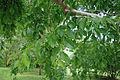 Ulmus parvifolia Kings choice foliage.jpg