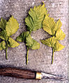 Ulmus x hollandica 'Wredei' cuttings.jpg