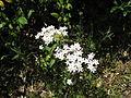 Unbekannte Pflanze aus der Algarve.jpg