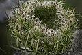 Unfolding Heracleum sphondylium - Gewone Bereklauw (29282518255).jpg