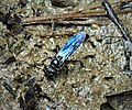 Unknown Wasp collecting mud from side of stream (42158788014).jpg