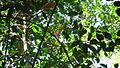 Unonopsis bahiensis Maas & Orava (7026503229).jpg