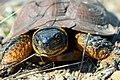 Up close Wood Turtle (26955957333).jpg