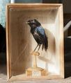 Uppstoppad fågel från 1800-1825 - Skoklosters slott - 95025.tif