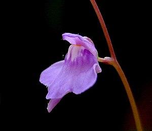 Utricularia - Utricularia amethystina flower